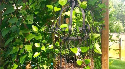 I've Caged the Ivy Leaf Pelargonium!