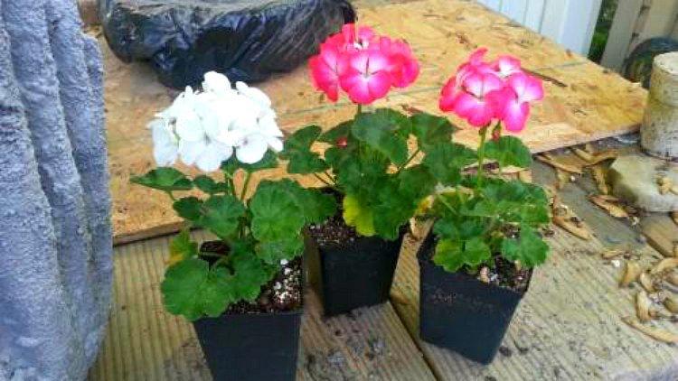 pelargoniums to plant
