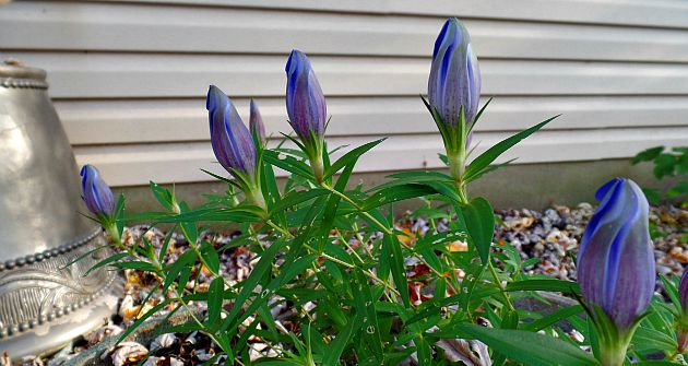 Bottle Gentian in Fall