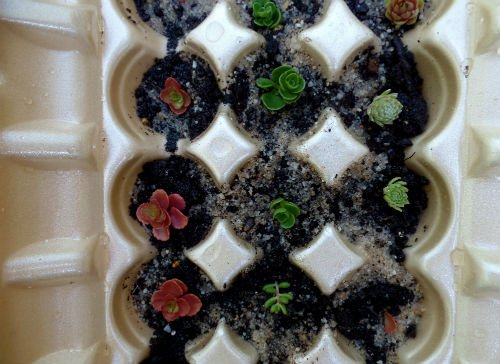 Sprouting new succulents in egg cartons