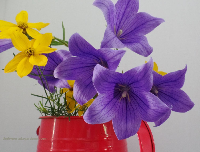 BalloonFlowerswithCoreopsis - The Hypertufa Gardener