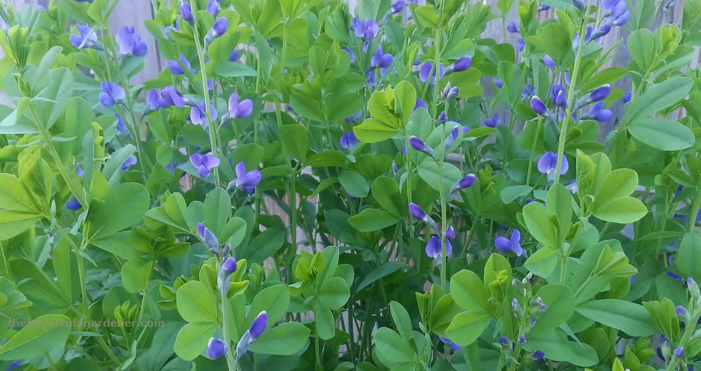 Baptisia False Blue Indigo-hypertufa-gardener