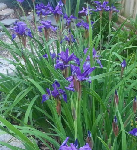 siberian-iris-hypertufa-gardener