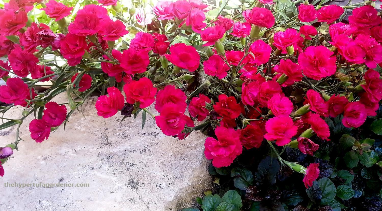 dianthus-hypertufa-gardener