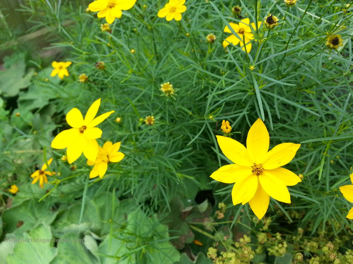 Favorite and Easy Perennials - Coreopsis