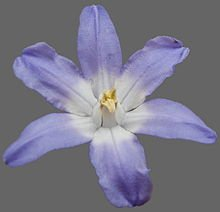 Chiondoxa Flower from Wikipedia