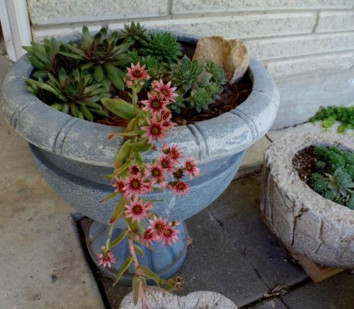 Hens and Chicks blooming