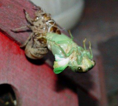 (Magicicada ) Cicada