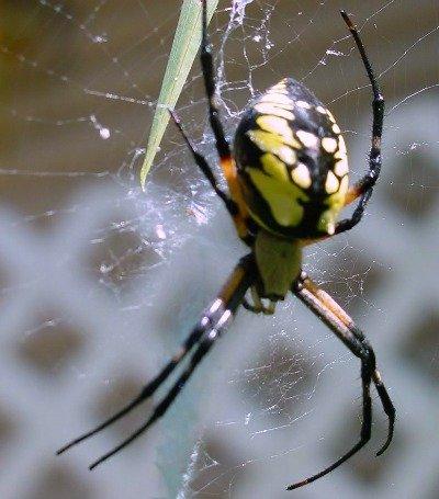 Argiope aurantia or Garden Spider