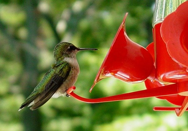 Hummingbird at the feeder - thehypertufagardener.com