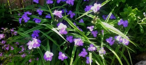 Spiderwort 500x222 My Favorite and Easy Perennials