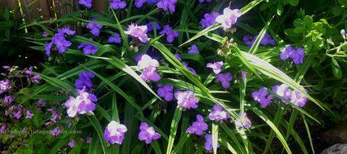 Spiderwort-hypertufa-gardener