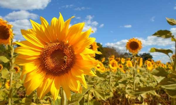 Yankee Rd Sunflower Field - The Hypertufa Gardener