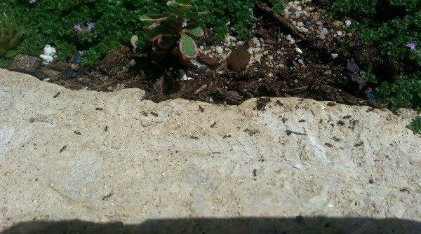 ants invading hypertufa