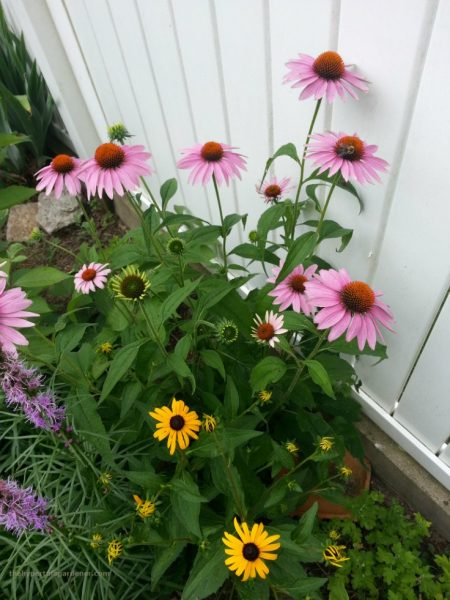 coneflower My Favorite and Easy Perennials