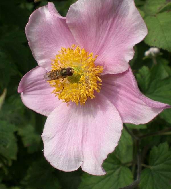 fall anemone - the hypertufa gardener