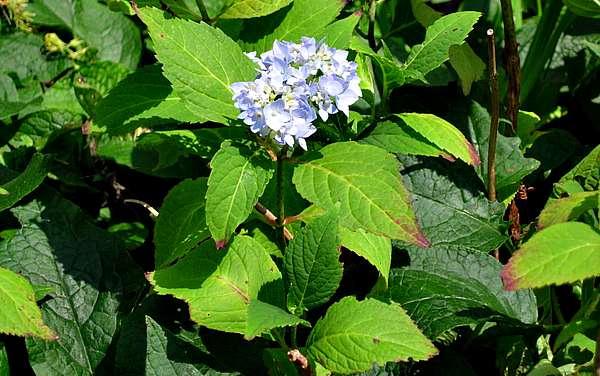 hydrangea-late summer - the hypertufa gardener