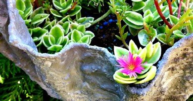 trough with sun rose - hypertufa gardener