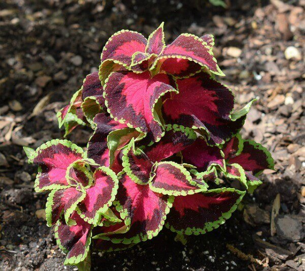 Coleus can be rooted in water
