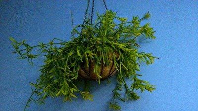 photo of Rhipsalis Basket Hypertufa