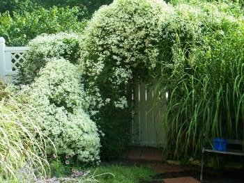 Sweet autumn clematis engulfing a lilac on the left. Sorry, this is an old photo.