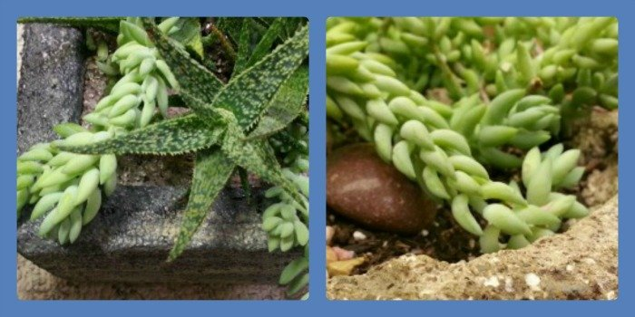 photo collage donkey tail and aloe