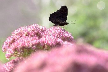photo of butterfly on sedum