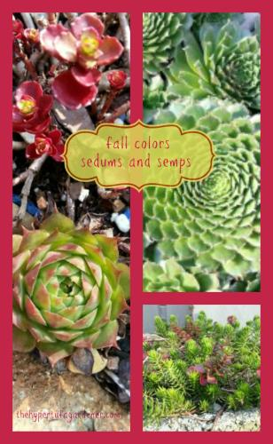 photo of fall collage of sedums