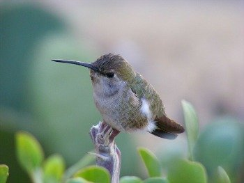 photo of a young hummingbird