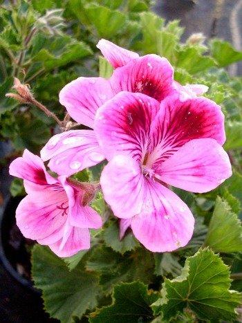 pelargoniumpink