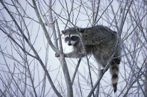 photo of raccoon in tree