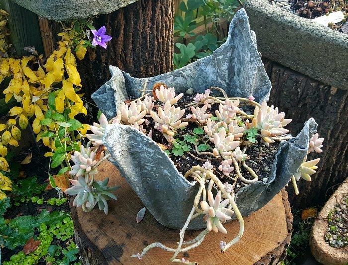 Graptopetalum paraguayense - The Hypertufa Gardener