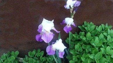 Iris with Sedum - Iris care