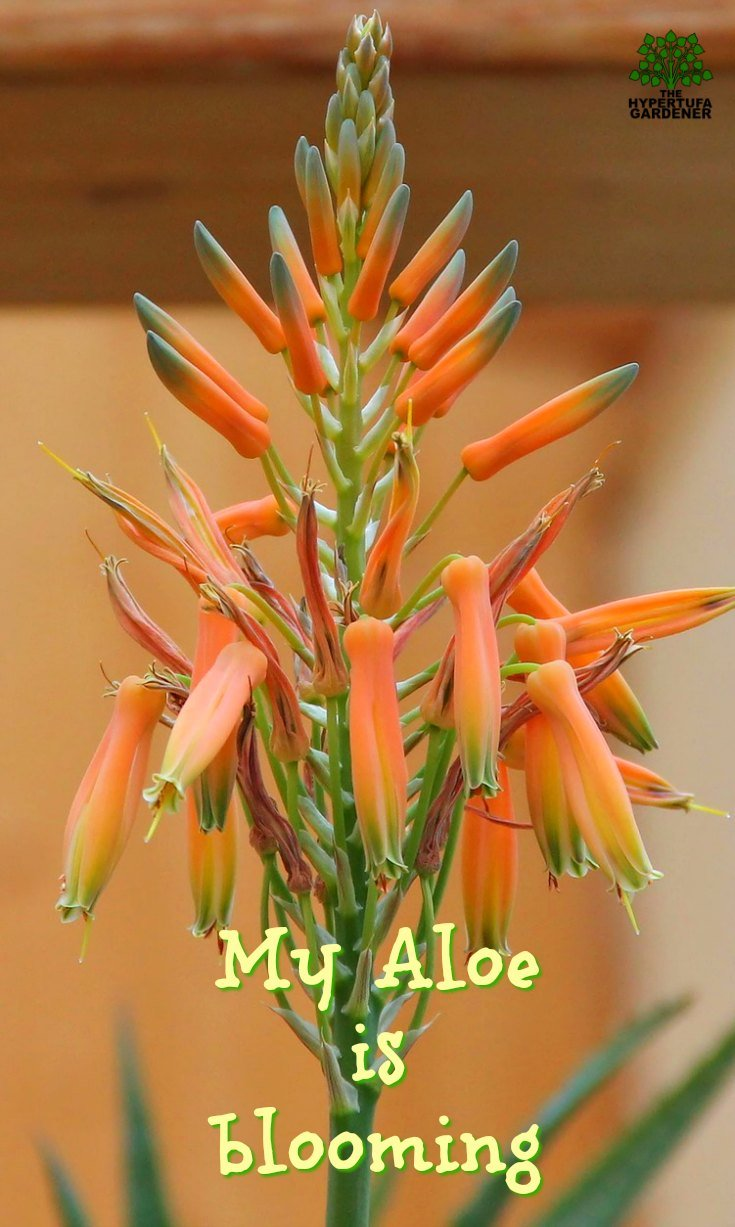 My Aloe is blooming
