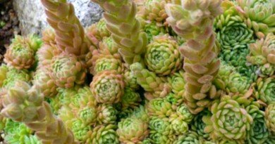 Plant-Pick-Rosularia-aizoon-The-Hypertufa-Gardener