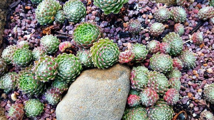 Sempervivums multiplying - The Hypertufa Gardener