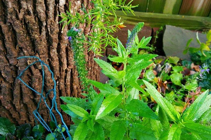 Veronica-Speedwell - The Hypertufa Gardener