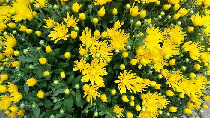 Yellow Mums - The hypertufa gardener