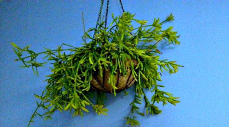 Mistletoe Cactus Tufa Baske