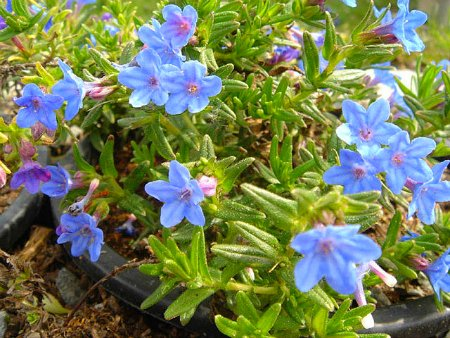 Lithodora_diffusa_'Haevenly_Blue'_2li
