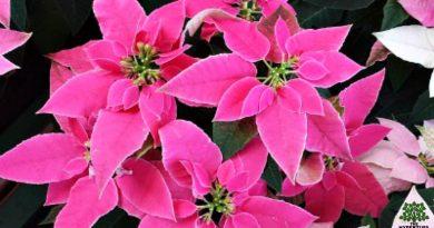 fresh-poinsettia-hypertufa-gardener