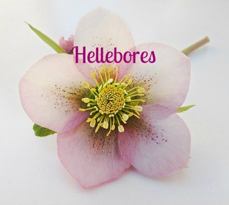 Will I Have Hellebores To Cheer Me?