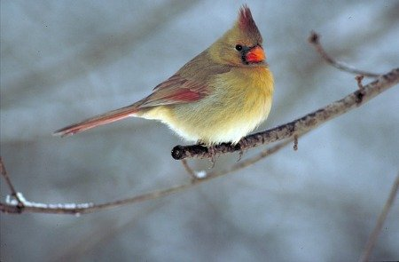 northern-cardinal-female-hypertufa-gardener