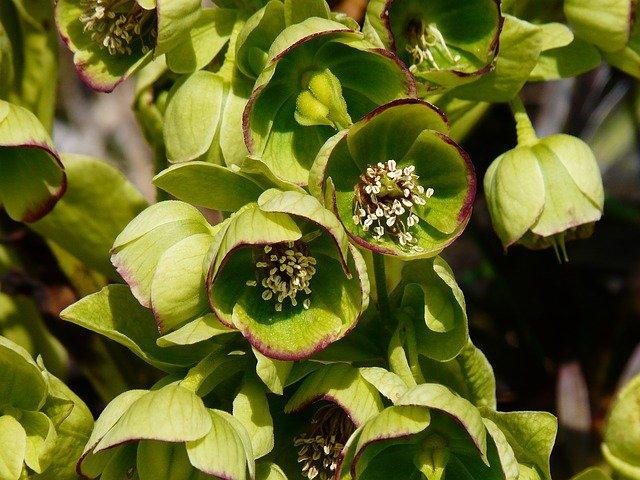 stinking-hellebore-hypertufa-gardener