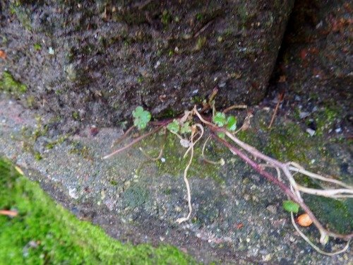 Kenilworth Ivy in December Zone 6