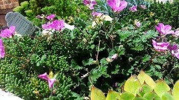 Erodium-hypertufa-gardener