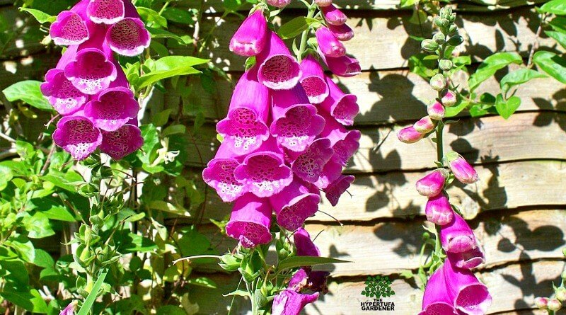 Foxglove- some varieties flower from seed the first year(1)