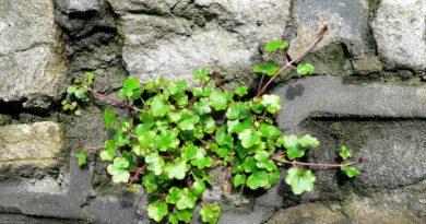 Kenilworth Ivy-The Hypertufa Gardener(1)