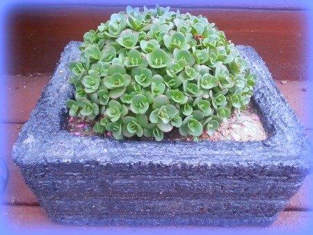 Lime Zinger in a styrofoam planter-TheHypertufaGardener
