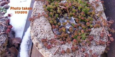 Succulents-ice-hypertufagardener